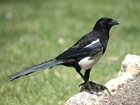 Some songbird nests are especially vulnerable to magpie predation - new study suggests