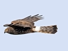 GWCT welcomes launch of hen harrier brood management trial