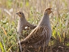 Focusing on Grey Partridges