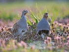 Funding boost for vital grey partridge project