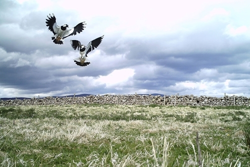 Auchnerran lapwing display May 2018