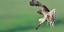 Diversionary feeding and nestling diet of hen harriers