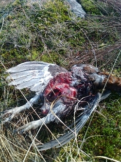 Predated grouse