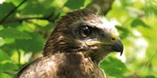Comparing the methods used to assess the diet of common buzzard chicks