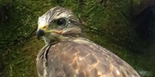 Measuring buzzard diet: Their collective impact on grouse