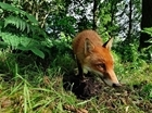 Deducing fox population changes from culling data