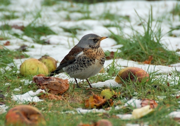 Fieldfare In Snow E