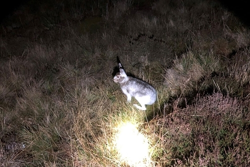 Mountain hare on count