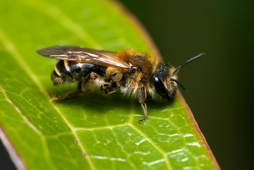 Andrena dorsata (Credit: Will George)