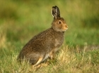 Mountain hare 'decline' not black and white - our letter to BBC Wildlife