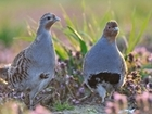 BBC figures on grey partridges 'wildly inaccurate' – our response to Radio 4