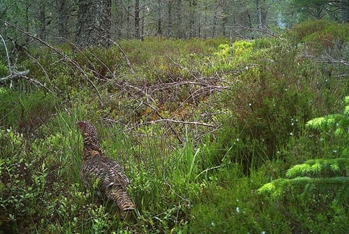 Female capercaillie returning to nest