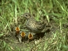 "Coronavirus lockdown ""could be a boon for nesting birds"" – GWCT in The Telegraph"