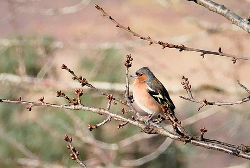 Chaffinch at Auchnerran