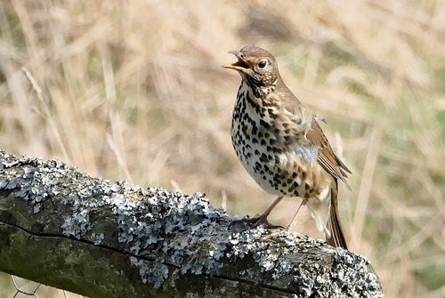 Song thrush at Auchnerran
