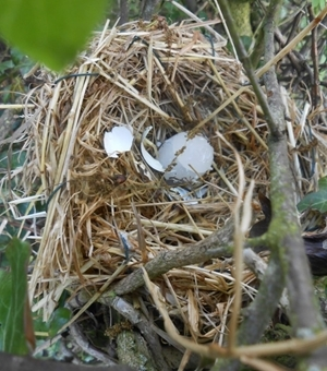 Predated artificial nest