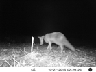 The fascinating journey of a fox GPS-tracked in the Avon Valley