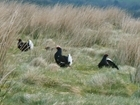 Black grouse study groups in Scotland
