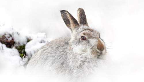 Mountainhare
