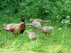 Pheasant biomass comparisons