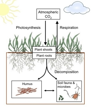 The affect photosynthesis, respiration and decomposition have on carbon levels below ground. Decomposition of roots, microbes and fauna cause respiration of carbon, with some remaining as humus, the soil organic carbon (SOC). This image is from Nature Education, © 2012.