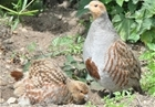 Grey partridge farm offers renewed optimism for rare bird
