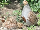 Grey partridges return to Cornwall