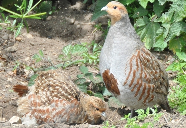 Grey partridge pair dusting