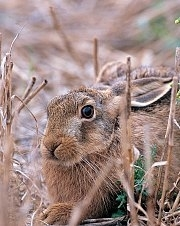 Brown hare winter stubble