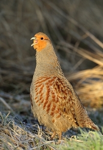 Grey partridge calling (www.lauriecampbell.com)