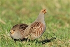 The grey partridge votes yes to 'best practice' predator control.