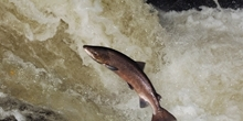 Salmon research reports