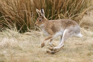Mountain Hare Running www.lauriecampbell.com
