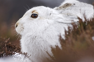 Mountain hare (www.lauriecampbell.com)
