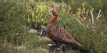 Red grouse endemism