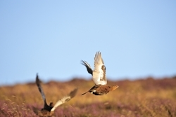 Red grouse (www.lauriecampbell.com)