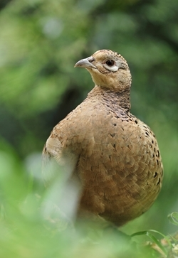 Female pheasant (www.lauriecampbell.com)