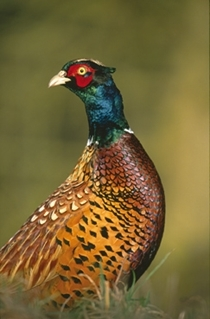 Pheasant (www.lauriecampbell.com)