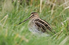 Common snipe (www.lauriecampbell.com)