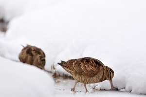 Two Woodcock www.lauriecampbell.com