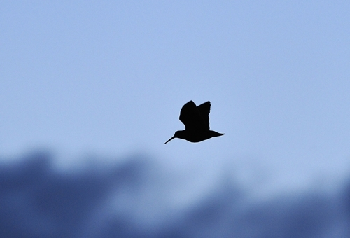 Woodcock in flight (www.lauriecampbell.com)