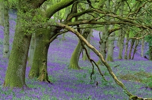 Bluebell woods (www.lauriecampbell.com)