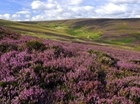 How much upland heather moorland is in the UK?