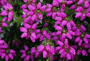 Bell Heather www.lauriecampbell.com