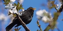 Blackbird habitat & predation