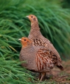 Join us on a grey partridge farm walk