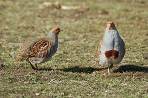 Grey partridge pair