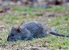 Essential rat control for Scottish gamekeepers course