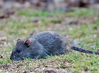 Brown rat photo