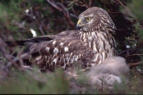 Female hen harrier with young chick nesting in dense heather